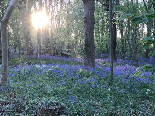 Evening walk amongst the bluebells in Henbury - Viv Perrey
