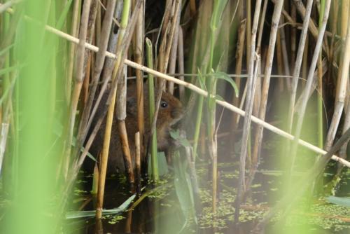 Water vole hiding in the reeds - Belinda Price