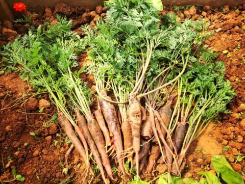 Purple carrots from the allotment - Hannah Thackeray