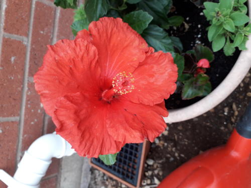 Hibiscus - Christine Baxter