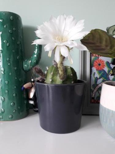 Echinopsis - Christine Baxter