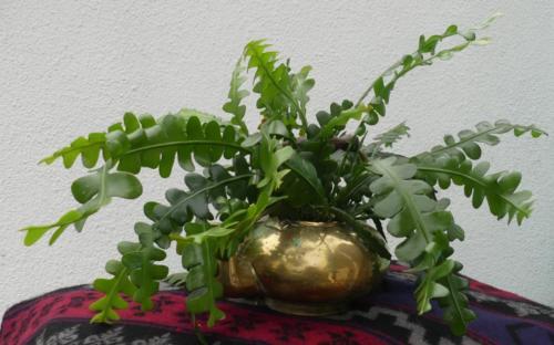 Jungle Fishbone Cactus - Belinda Price