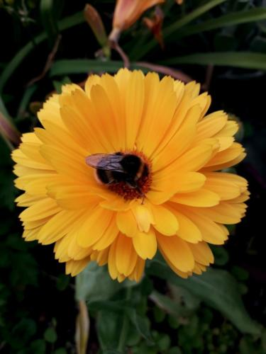 Bee on Calendula - Christine Baxter