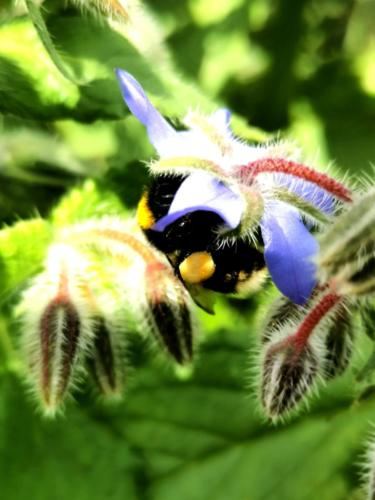 Bee feeding on Borage - Hannah Thackeray