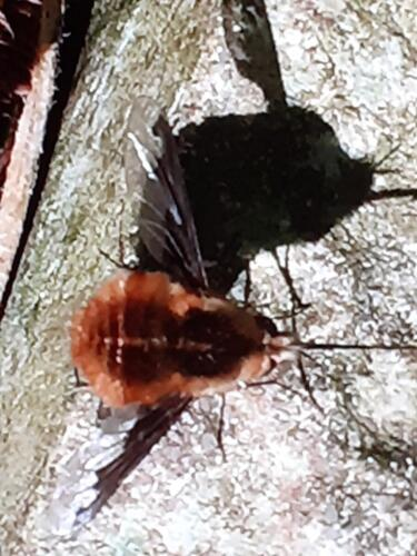 Bee fly on the path - Malcolm