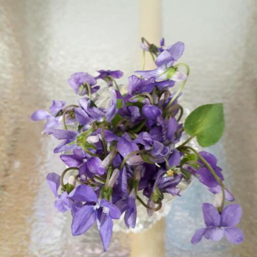 Devon violets - Rosalind Bargery