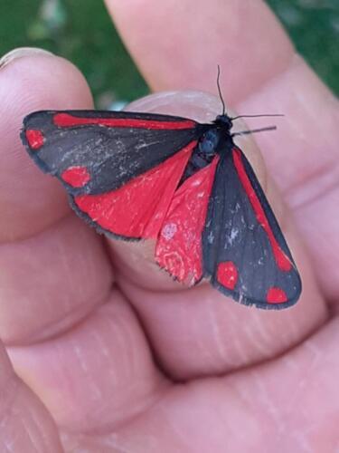 Burnet Moth - Malcolm